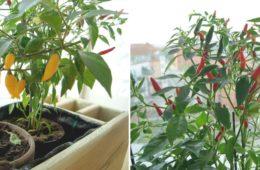 chili-uprawa