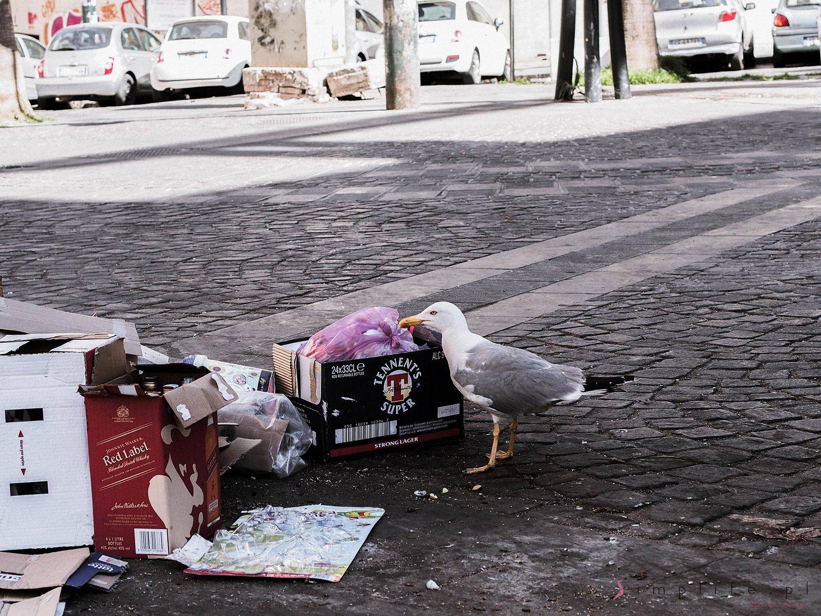 neapol-śmieci-mewa