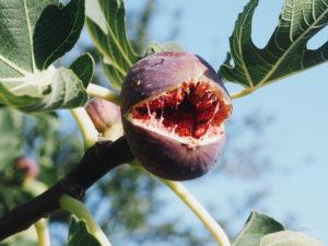 bułgaria figi