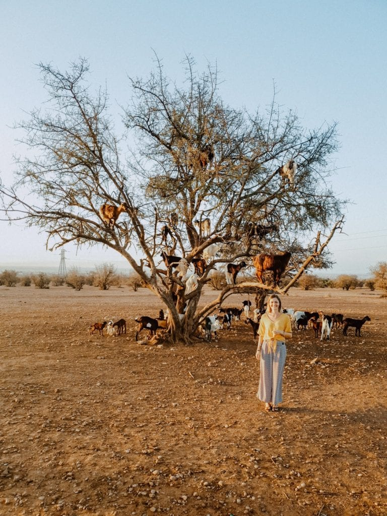 maroko kozy na drzewie